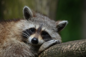 raccoon-365366_1920